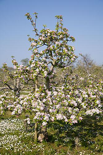 Pyramid Apple Tree Malus Domestica Lord Lambourne