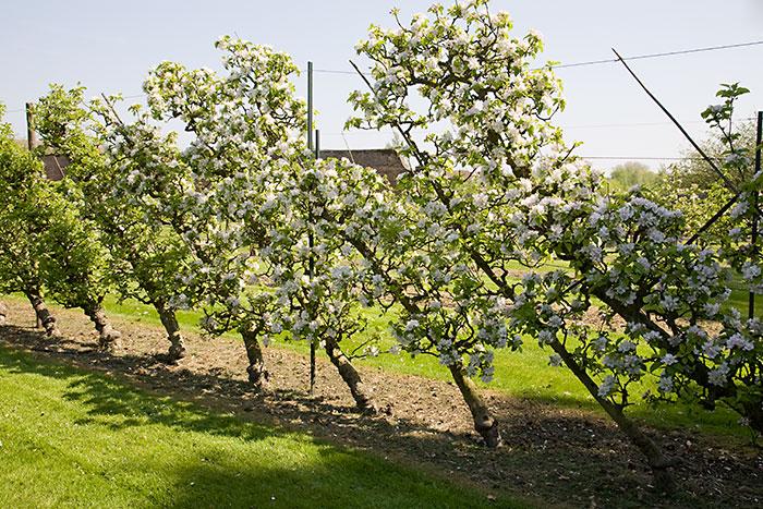 Oblique Cordon Apples - Malus domestica 'Lord Lambourne'