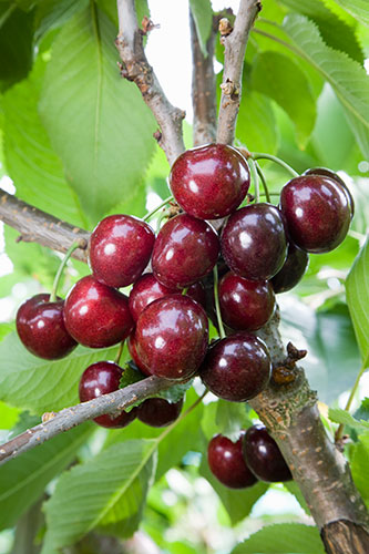 contact sweet cherry prunus avium  penny  contacter amazon sweet cherry prunus avium  penny